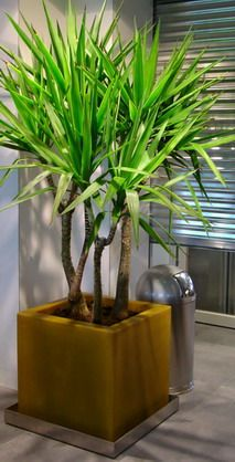 yucca_elephantipes_living_sculpture_im_kunststoffgefaess.jpg
